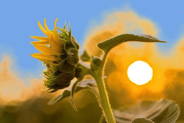 Bunga Matahari Selalu mengikuti arah sinar Matahari